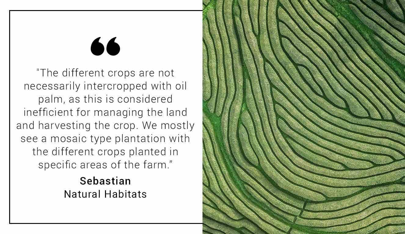 Intercropping palm oil quote